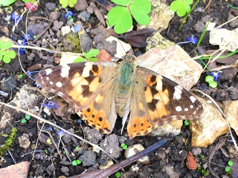 PAINTED LADY, DORSET 4