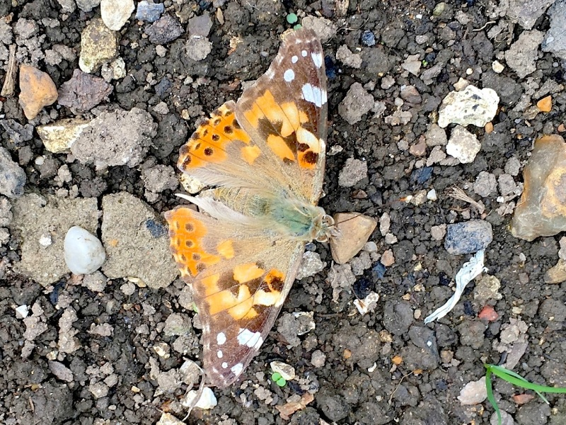 PAINTED LADY, DORSET 5