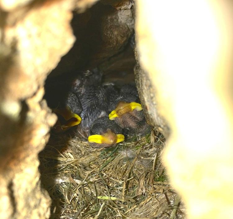 Sparrow Chicks, Dorset 03