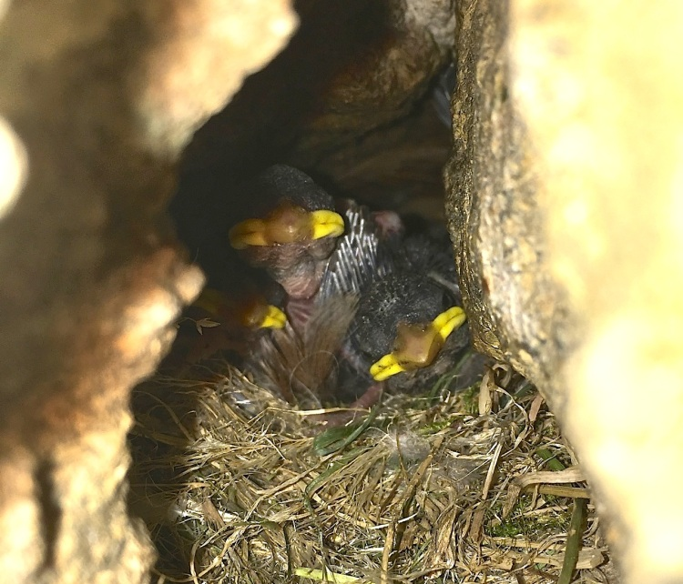Sparrow Chicks, Dorset 05