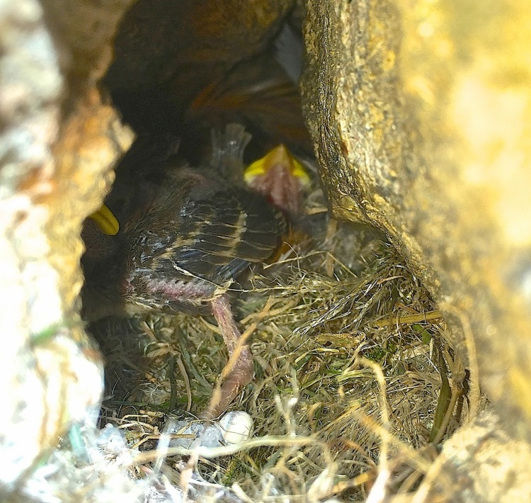Sparrow Chicks, Dorset 10