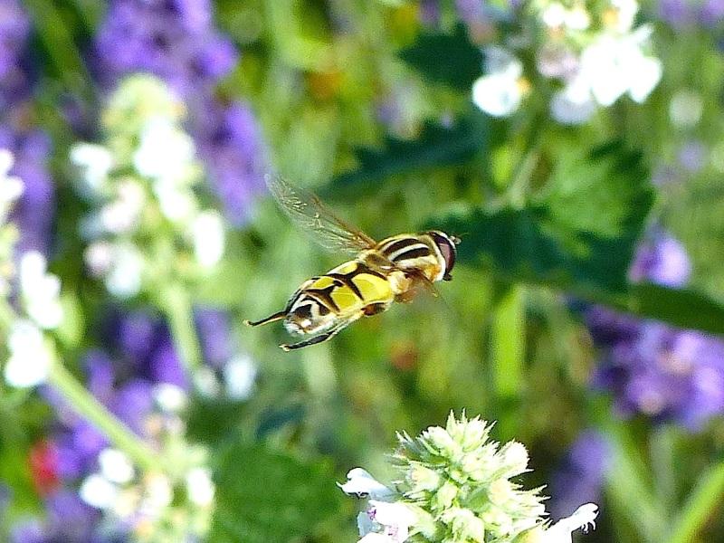 Hoverfly (Helophilus trivittatus) Dorset 03
