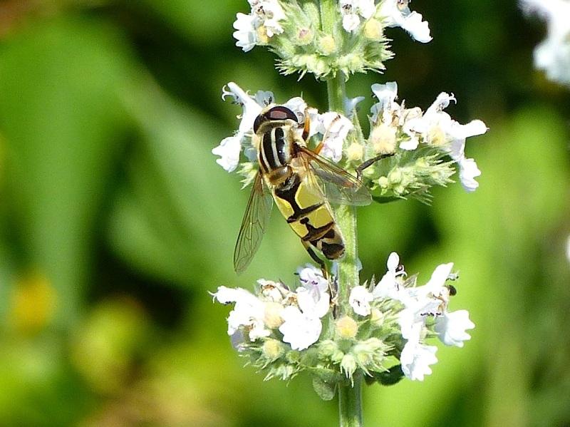 Hoverfly (Helophilus trivittatus) Dorset 13