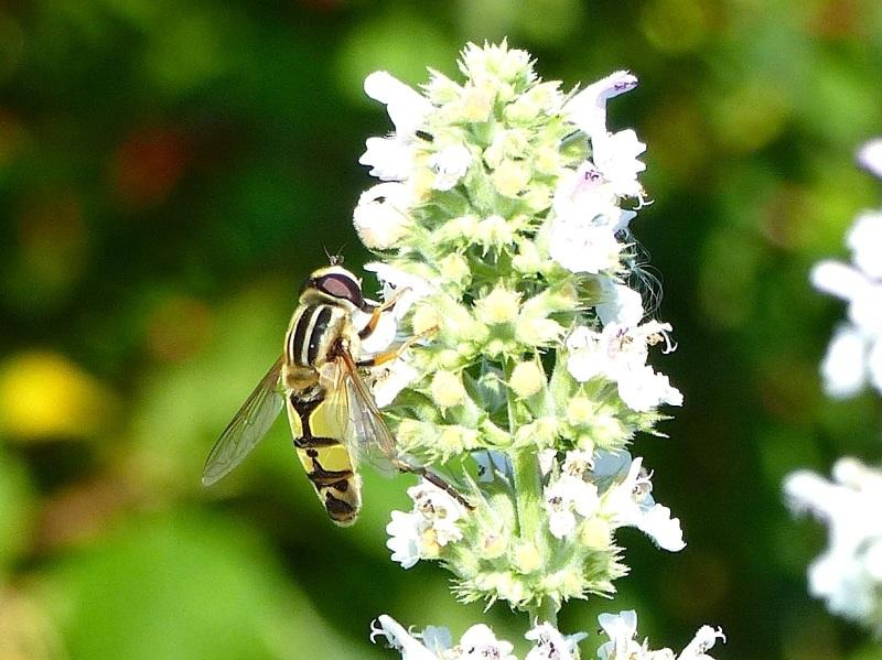 Hoverfly (Helophilus trivittatus) Dorset 14