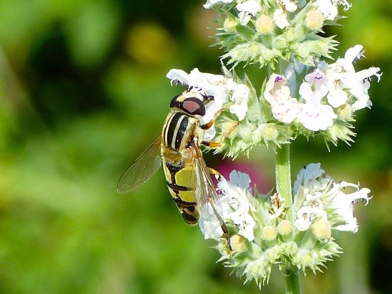 Hoverfly (Helophilus trivittatus) Dorset 15