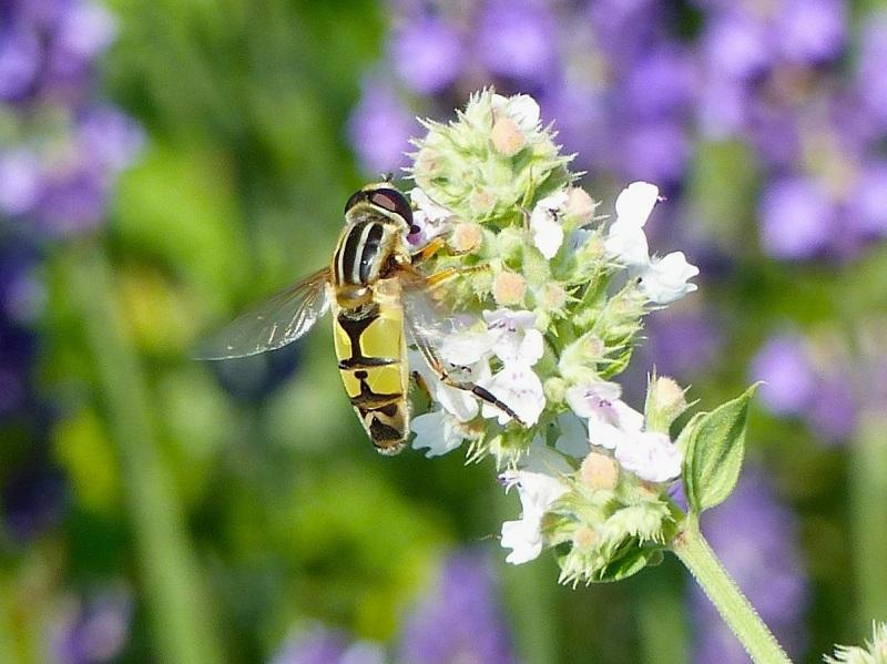 Hoverfly (Helophilus trivittatus) Dorset 18