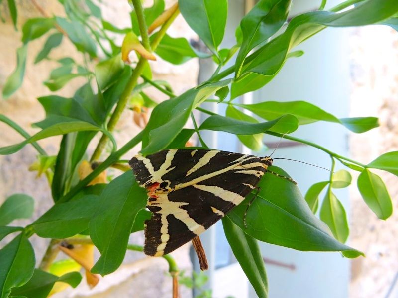 Jersey Tiger Moth, Ceret, France