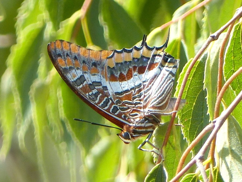 two-tailed-pasha-ceret-pyrenees-1