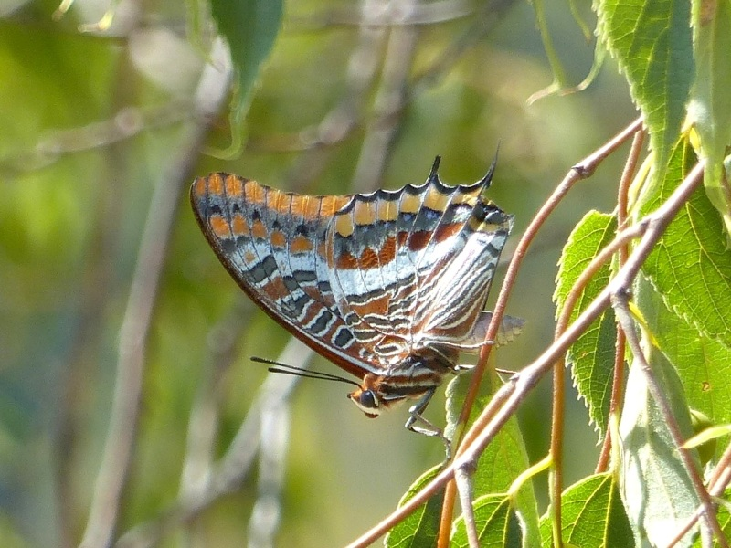 two-tailed-pasha-ceret-pyrenees-3