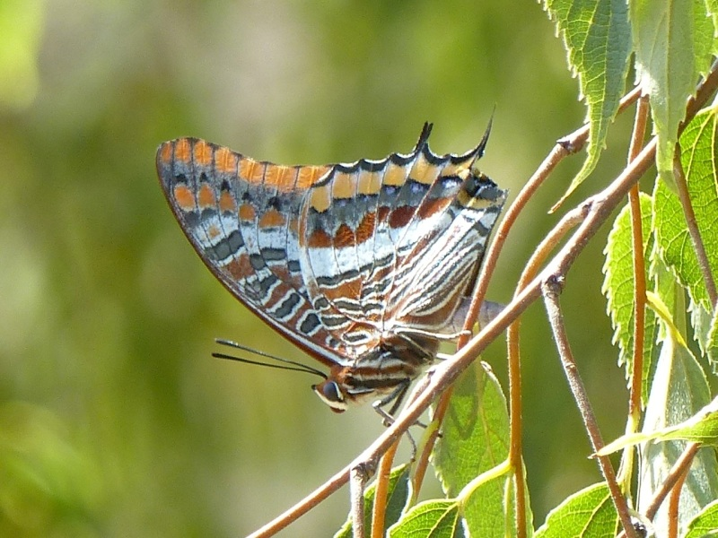 two-tailed-pasha-ceret-pyrenees-4