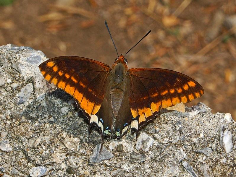 two-tailed-pasha-charaxes-jasius-genoa-hectonichus-wiki