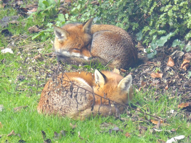 A Pair of Foxes in a West London Garden