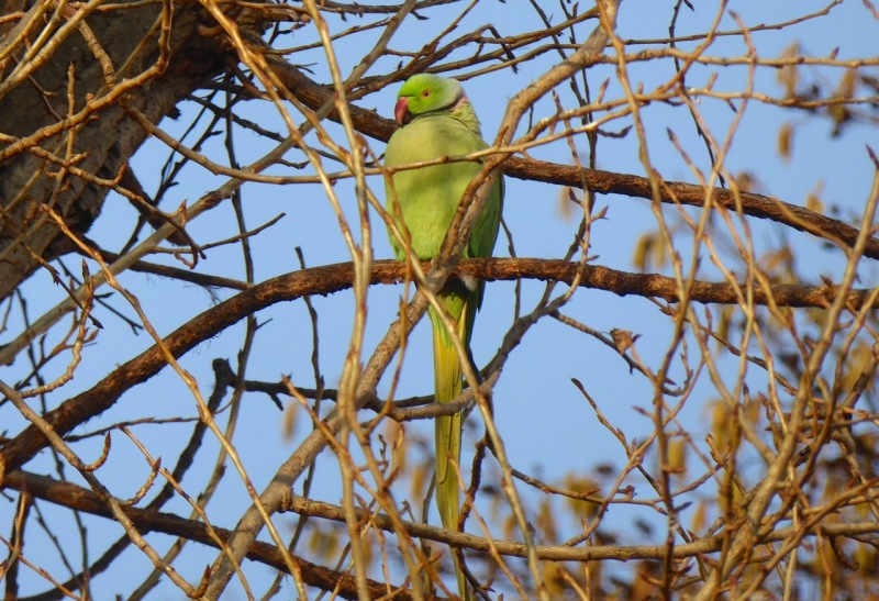 ring-necked-parakeet-west-london-keith-salvesen-1