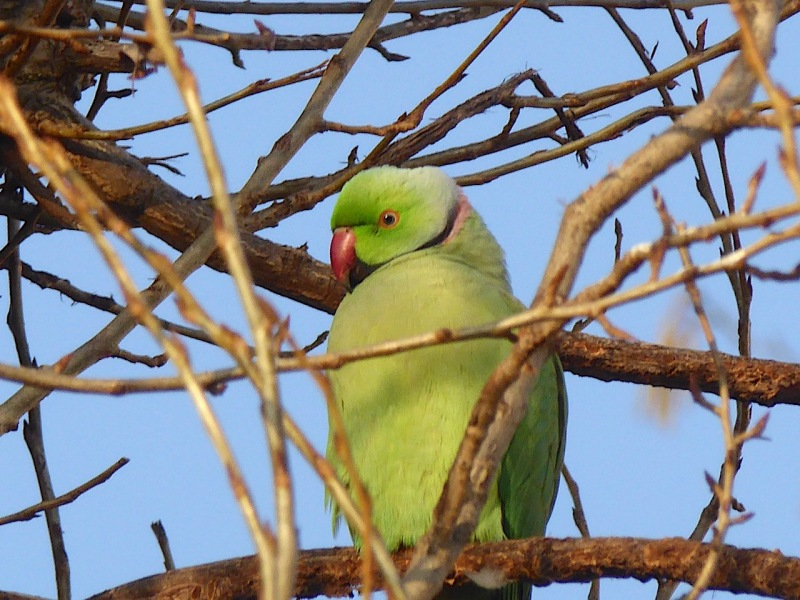 ring-necked-parakeet-west-london-keith-salvesen-4