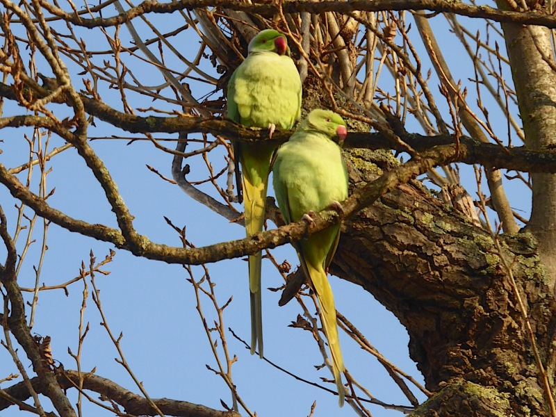 ring-necked-parakeet-west-london-keith-salvesen-5