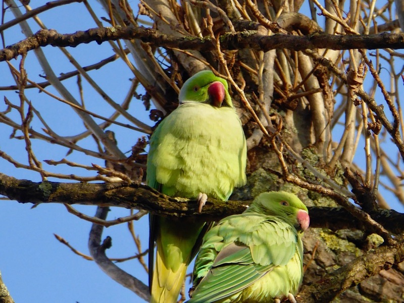 ring-necked-parakeet-west-london-keith-salvesen-6