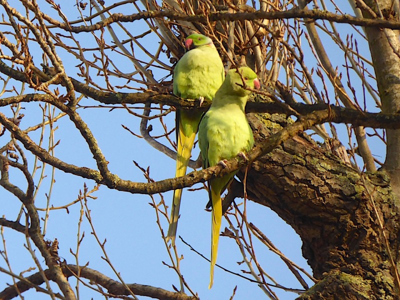 ring-necked-parakeet-west-london-keith-salvesen-7