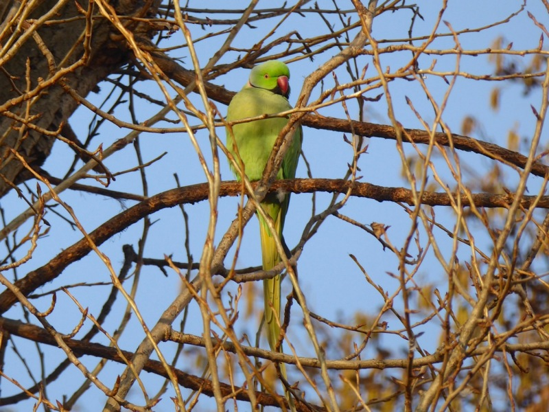 ring-necked-parakeet-west-london-keith-salvesen-8