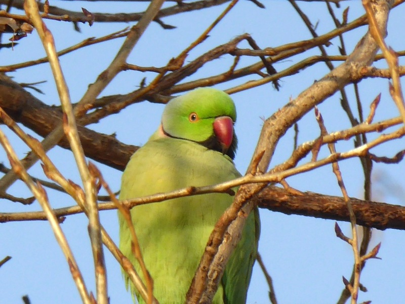 Ring-necked Parakeet, West London