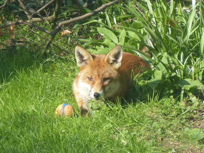Dog Fox in the City: West London