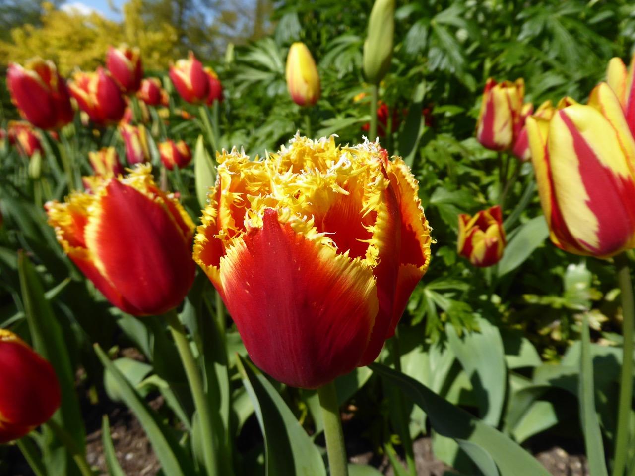 Forde Abbey, Dorset - Tulips