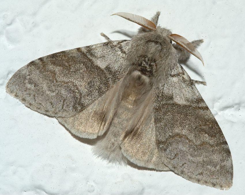 Pale Tussock Moth (Kurt Kulac - wiki)