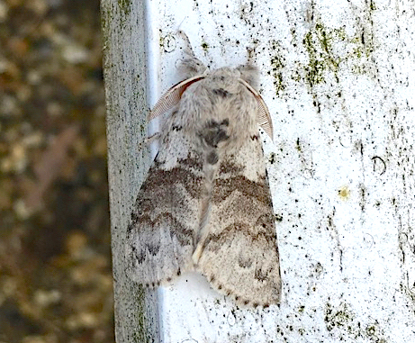 Pale Tussock Moth, Dorset (Rolling Harbour)