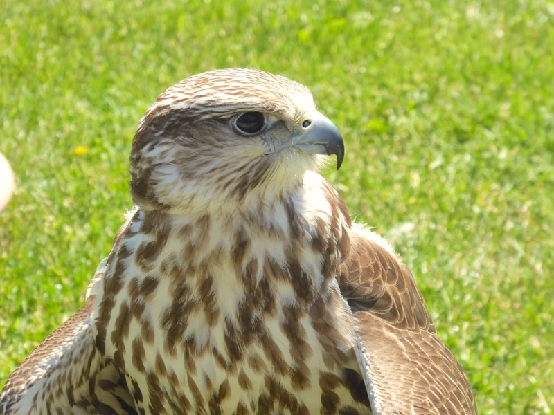 Gyrfalcon / Saker Falcon cross / hybrid, Russborough, Co. Wexford
