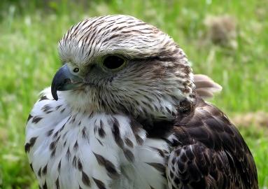 Gyrfalcon / Saker Falcon wiki