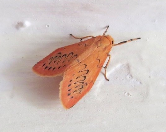 Rosy Footman Moth, Dorset (Keith Salvesen)