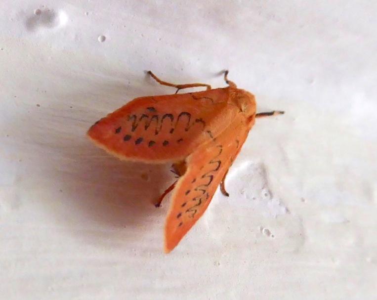 Rosy Footman Moth, Dorset (Keith Salvesen)