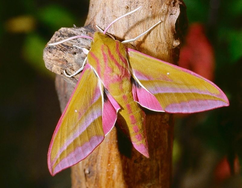Elephant Hawk-moth wiki