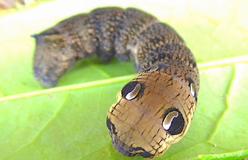 Elephant Hawk-moth Caterpillar, Dorset (Keith Salvesen)
