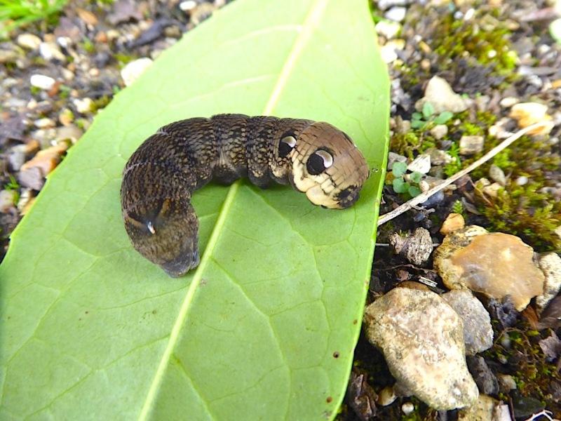 Elephant Hawk-moth Caterpillar, Dorset (Keith Salvesen)