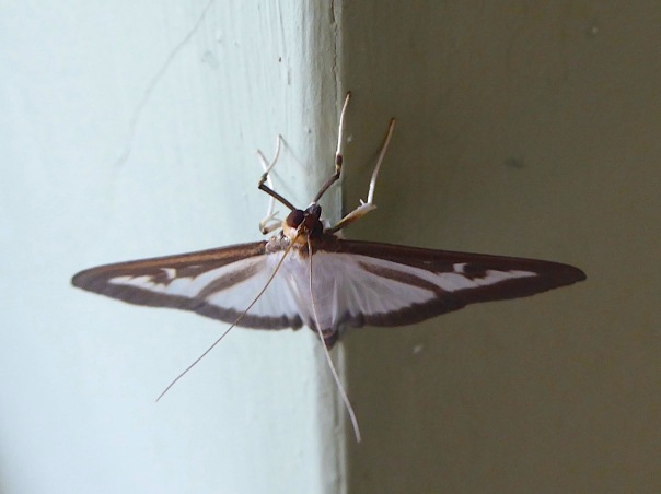 Box-tree Moth, UK (Keith Salvesen)