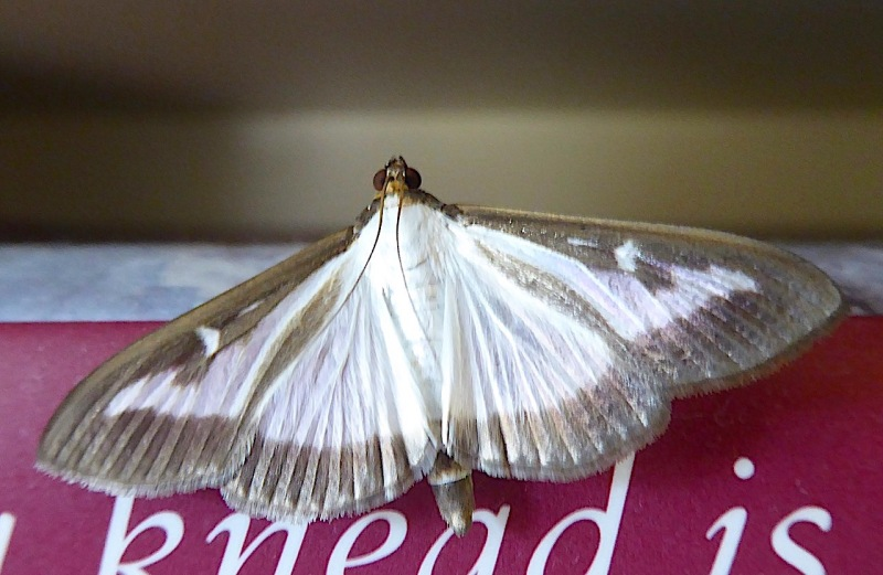 Box-tree Moth, UK - rapacious intruder (Keith Salvesen)