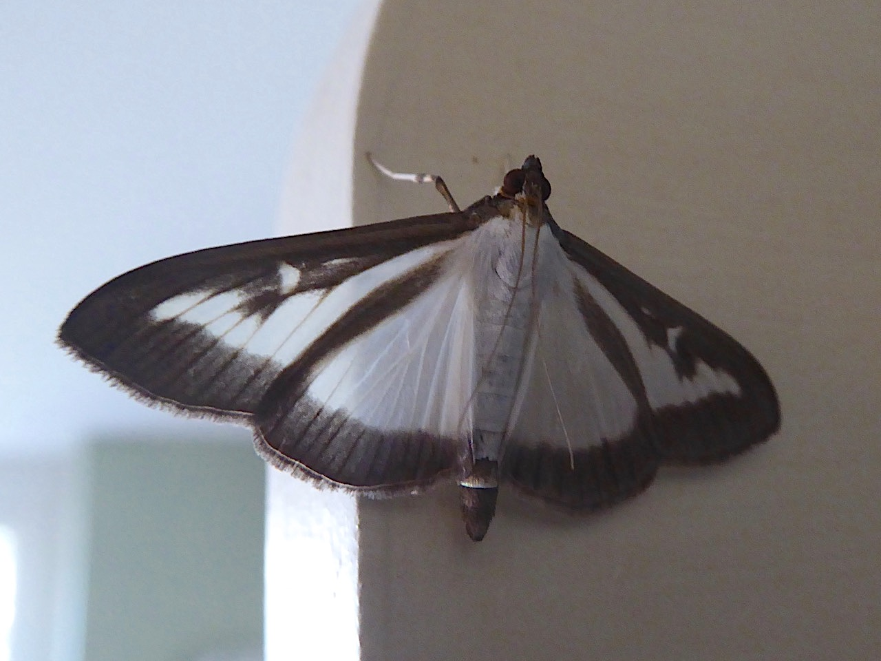 Box-tree Moth, UK (Keith Salvesen)