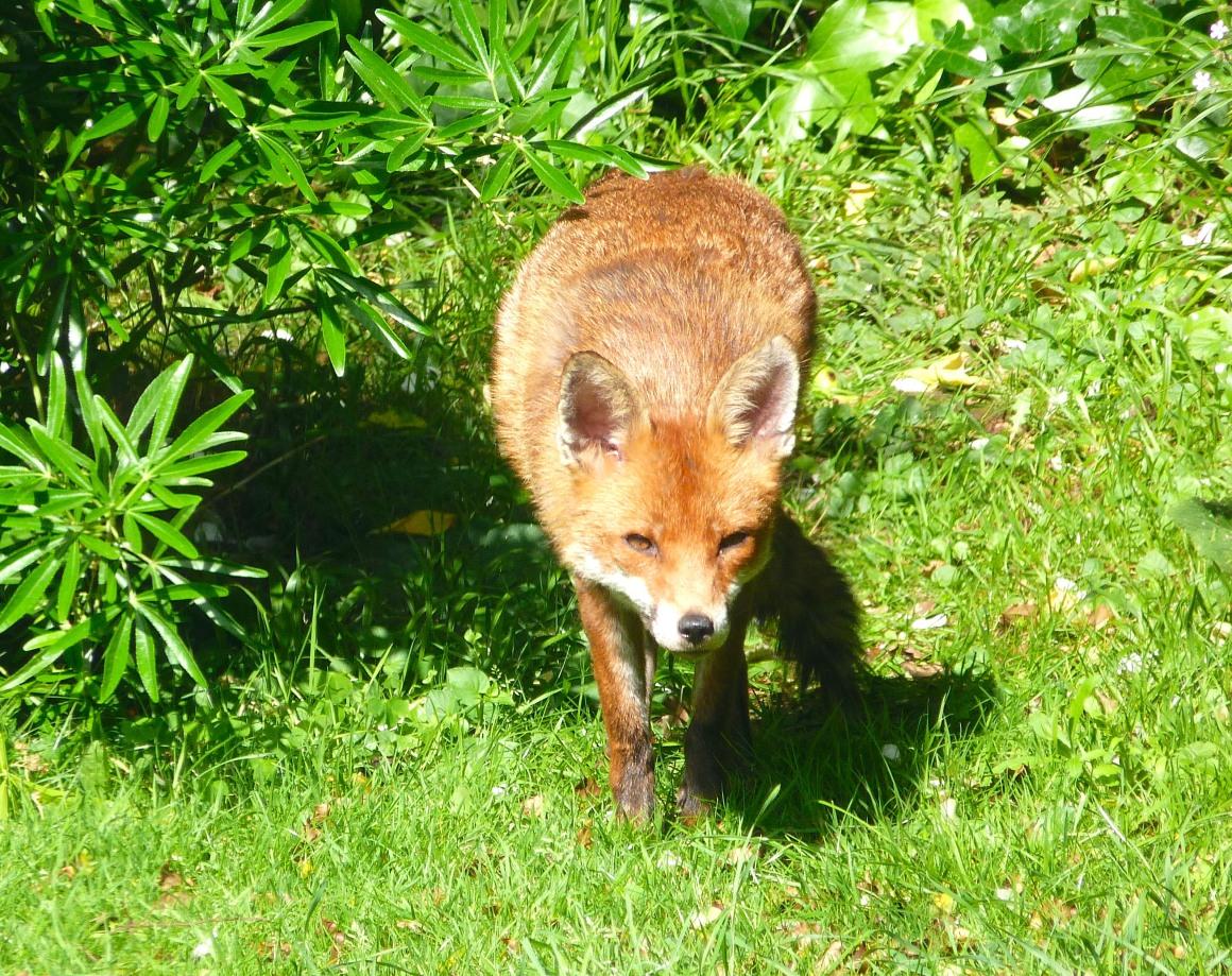 City Fox, West London (Keith Salvesen)