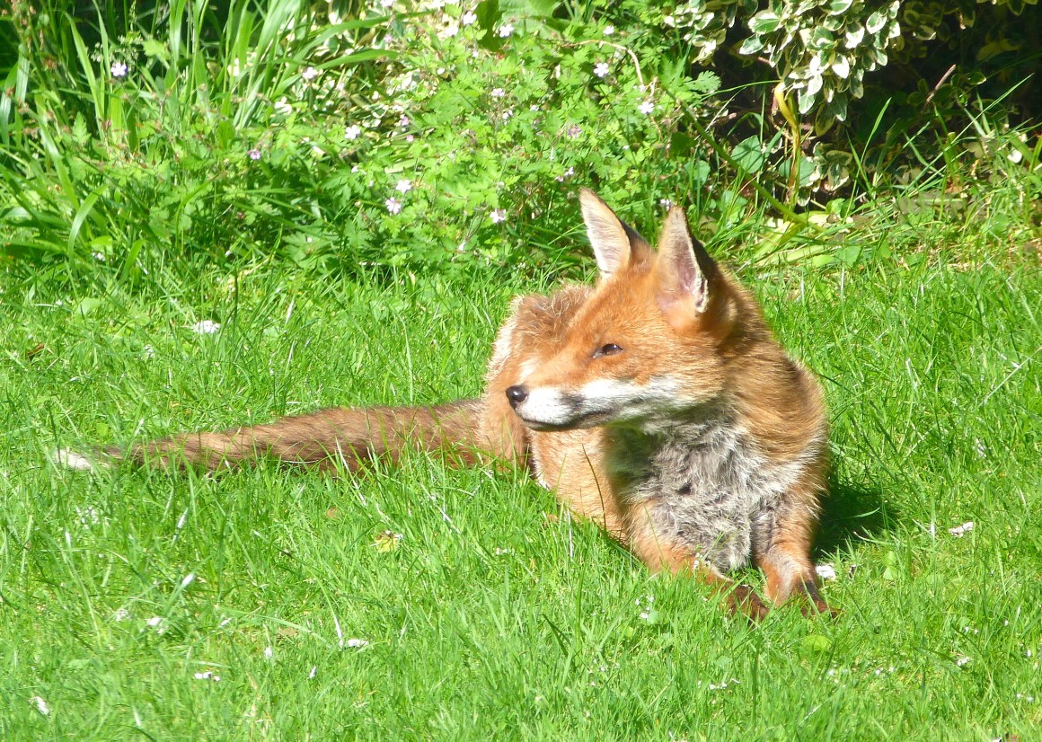 City Fox, West London (Keith Salvesen)