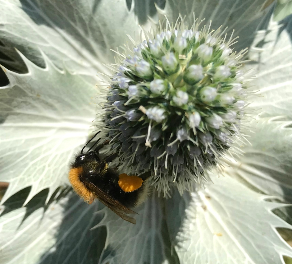 Bombus Hypnorum - The Tree of Garden Bee (Keith Salvesen)