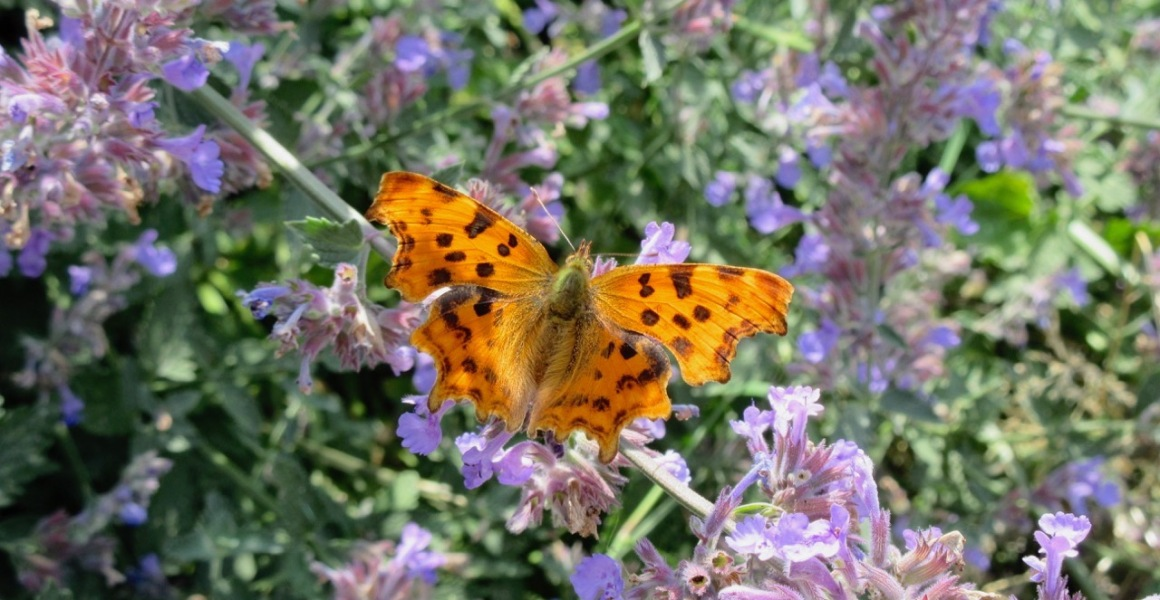 Comma Butterfly (Keith Salvesen)