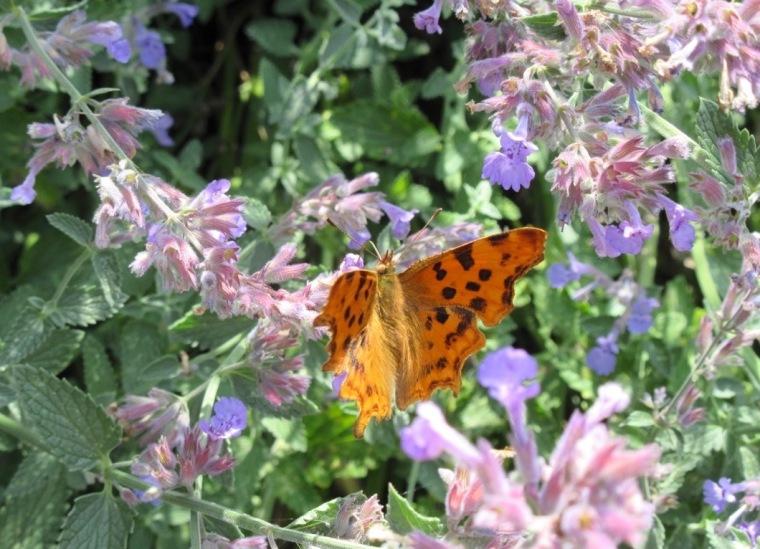 Comma Butterfly (Keith Salvesen)