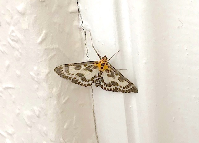 Small Magpie Moth, Dorset