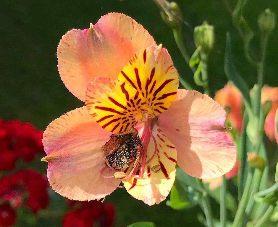 Small Bee on Alstroemeria, London 2 (Keith Salvesen)
