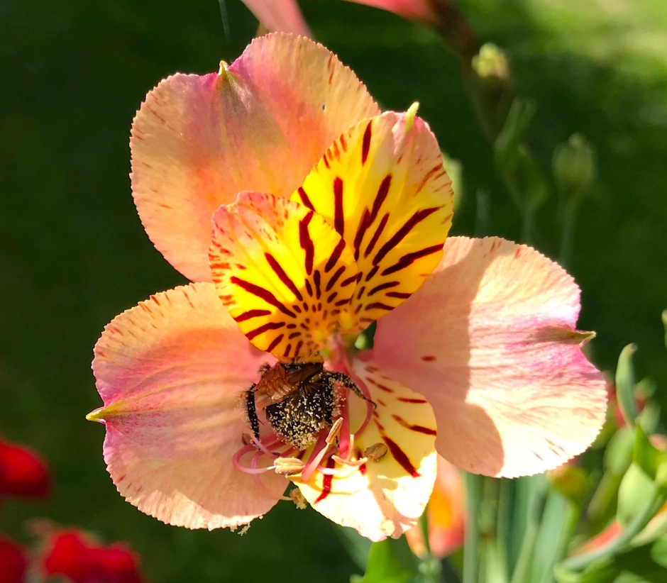 Small Bee on Alstroemeria, London 3 (Keith Salvesen)