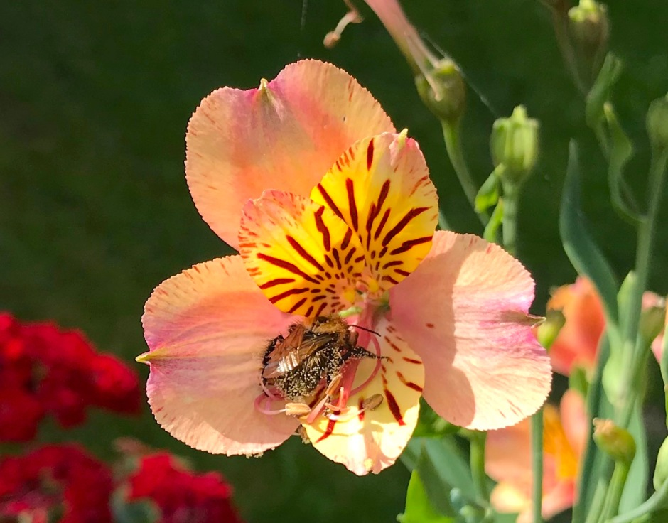 Small Bee on Alstroemeria, London 1 (Keith Salvesen)