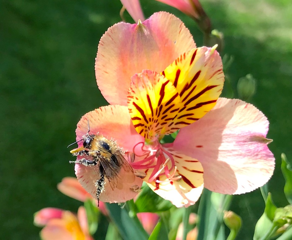 Small Bee on Alstroemeria, London 4 (Keith Salvesen)