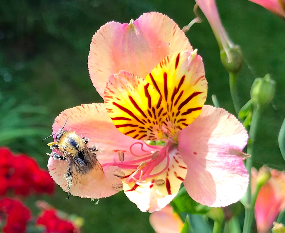 Small Bee on Alstroemeria, London 5 (Keith Salvesen)