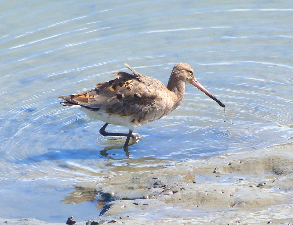 Black-tailed Godwit, Timoleague, nr Kinsale, Co. Cork (Keith Salvesen)