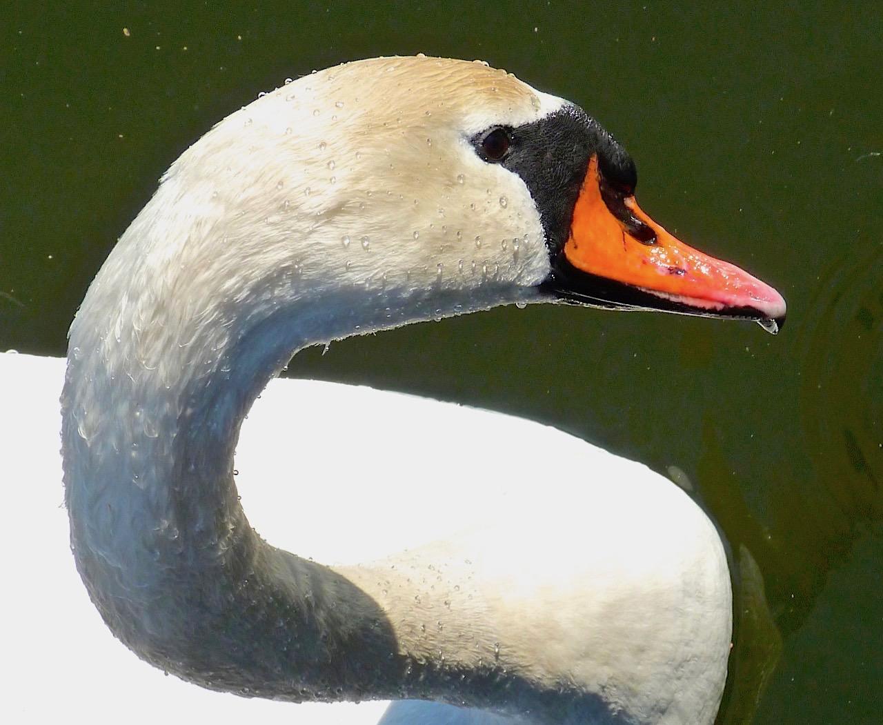 Swan Neck, Prospect Park NYC (Keith Salvesen Photography)